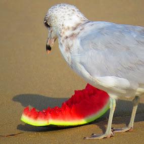 Moment in Melon by Tanya Washburn - Animals Birds ( bird, sand, seagull, beach, watermelon )
