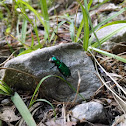 Four Spotted Tiger Beetle