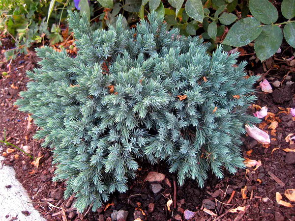 The Only Coniferous Evergreens In My Yard Are Baby Blue Star Junipers Which Do Not Produce Pollen Unlike Rest Of Their Family