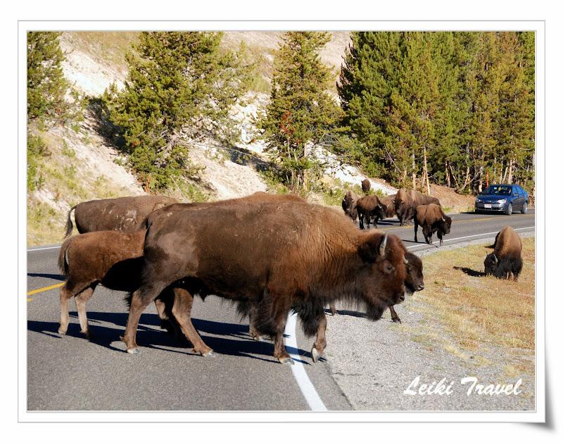 黃石公園野牛 水牛 Bison