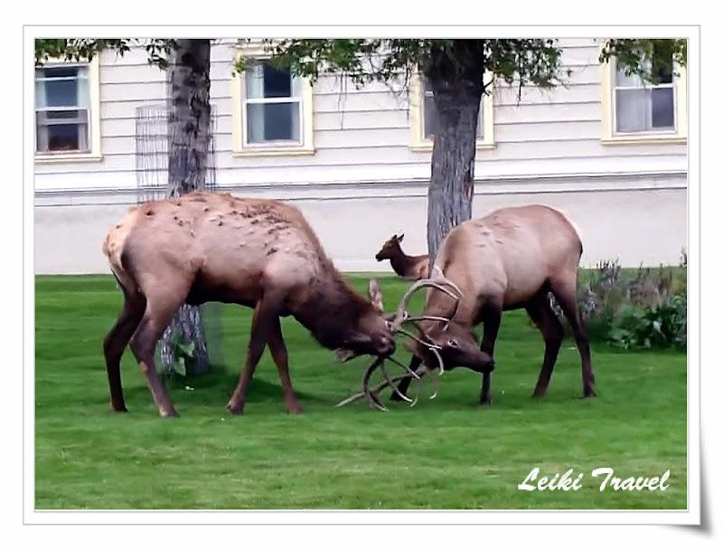 黃石公園 鹿打架