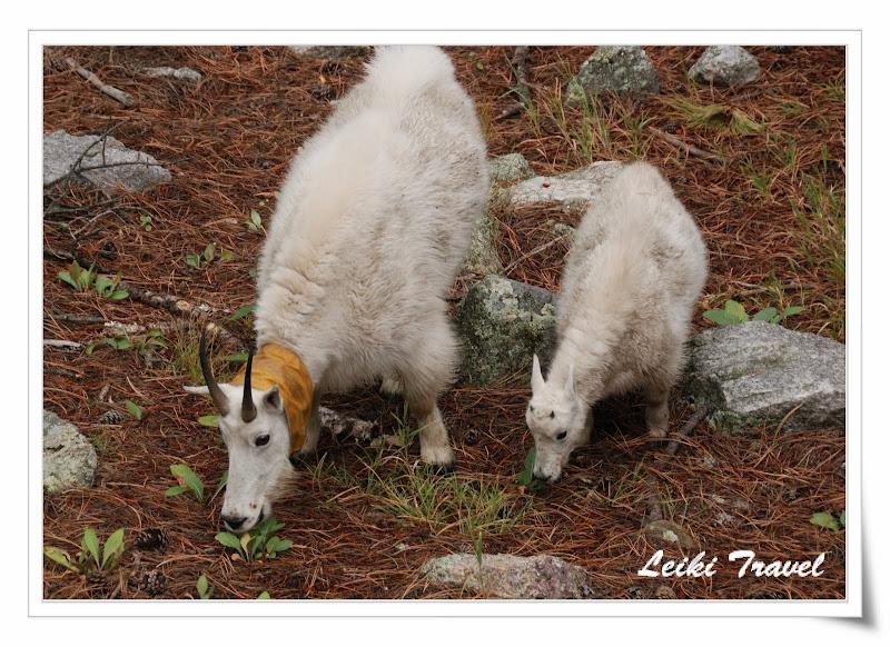 Mount Rushmore 總統石像, Mountain Goat