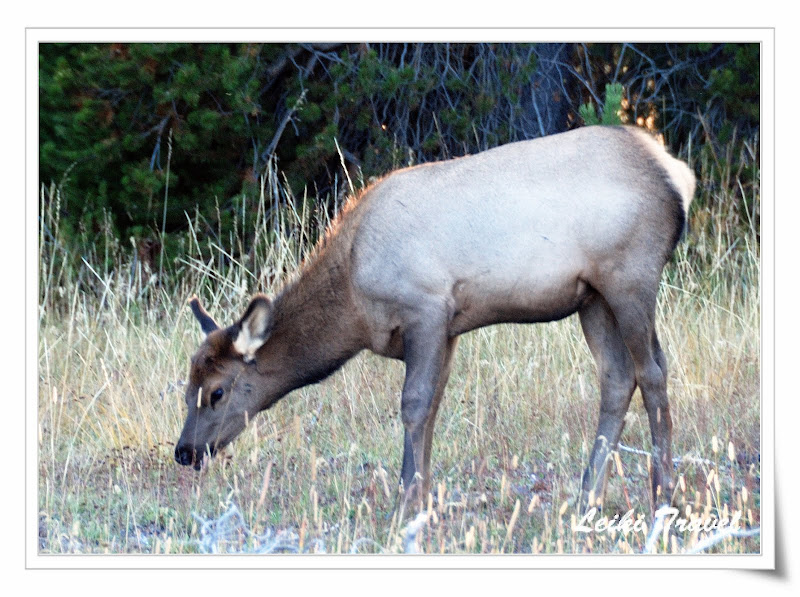 Elk spotted around West Thumb
