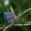 Favonius  aurorinus