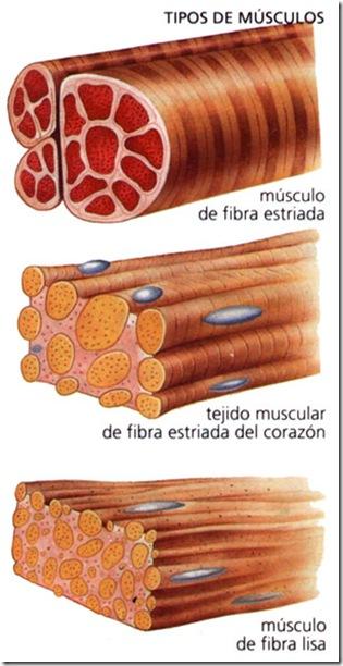 clases de musculos