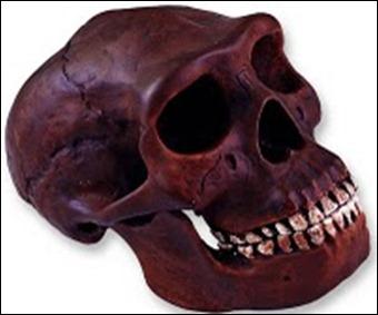 craneo homo erectus