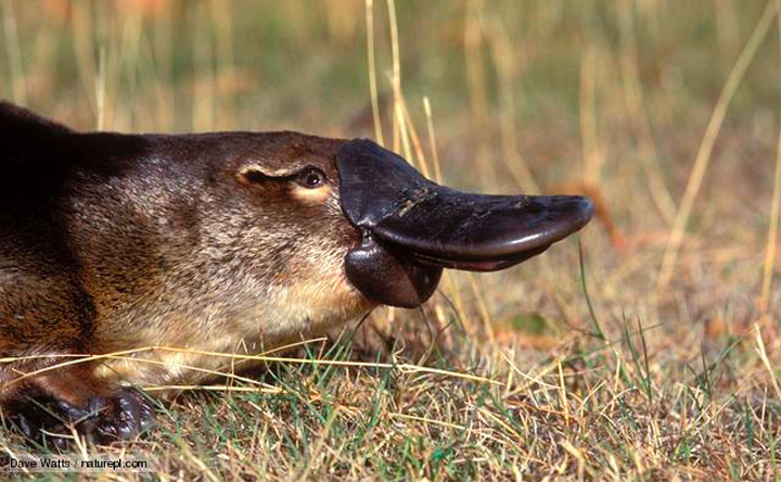 Zedisred The Platypus Nature S Quot Swiss Army Knife Quot