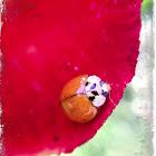 Lady Beetle