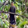 Squirrel Cuckoo (alma-de-gato)