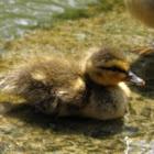 Baby mallard duck