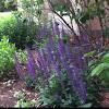 Salvia & Lavender