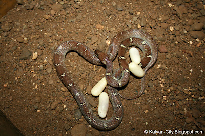 Common Wolf Snake Photos
