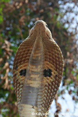 Spectacled Cobra Hood Photo