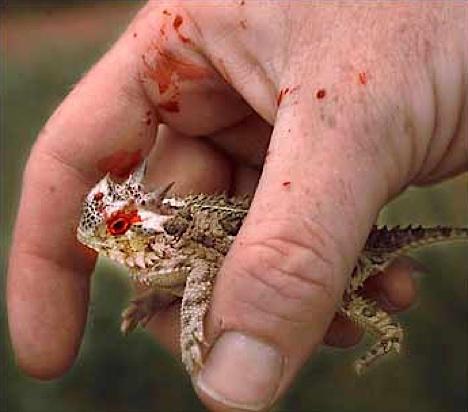 kadal bertanduk Mekanisme Pertahanan Diri Hewan Yang Dahsyat