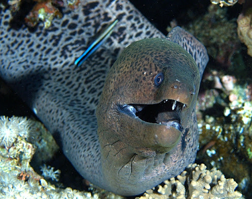 Moray Eel (Belut Moray)