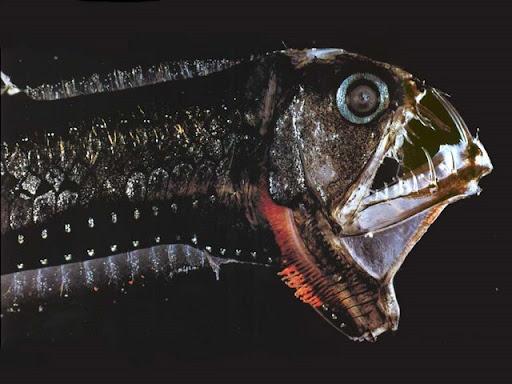 [Image: ikan-buas-viperfish-01.jpg]