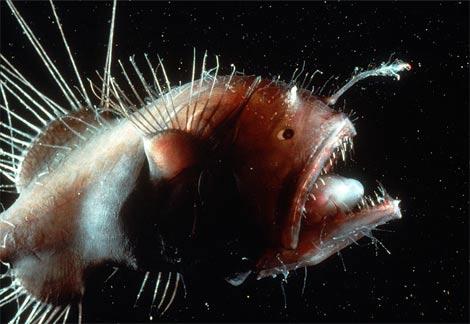 [Image: ikan-buas-anglerfish-06.jpg]