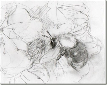 Bombus hypnorum sketch sm