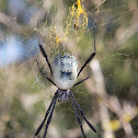 Female Black-legged Nephila