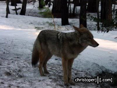 This Is Christoperj Com Yose2008 Yosemite Wolves