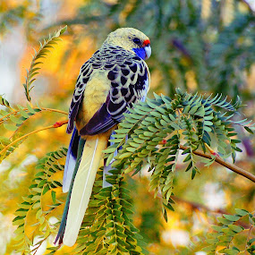 Eastern Rosella, Australia by Chris KIELY - Animals Birds ( bird, tree, rosella, parrot, eastern, , color, colors, landscape, portrait, object, filter forge )