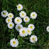 Margarita común. Common Daisy