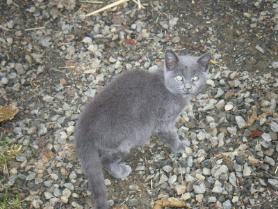 Gray half grown feral kitten