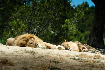 lions- sigean.jpg