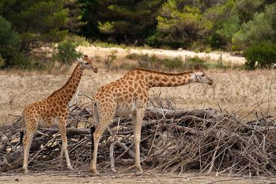 girafes - sigean.jpg