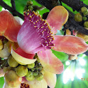 Cannonball Tree or Naag Champa