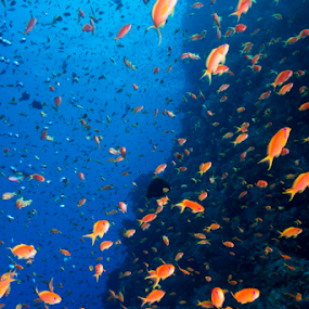 Underwater Cloud by Alin Miu - Landscapes Underwater ( red, school of fish, underwater, fishes, reef life )