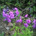 Fall or Garden Phlox