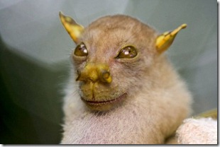 Picture-of-a-tube-nosed-fruit-bat-found-in-Papua-New-Guinea-550x366