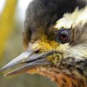 Striped woodpecker, female