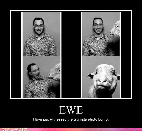 photo of a ewe sneaking into a picture
