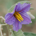 Silver-leaf Nightshade