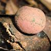 Daldinia fungi
