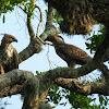 Sri Lankan Crested Hawk Eagle / Changeable Hawk Eagle