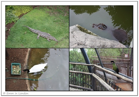 Crocodile Hippo and Black-Necked Swan at Emerald Resort Animal World