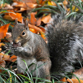 by Sue Green - Animals Other ( princeton.squirrels, animals, seasons, autumn, fall,  )