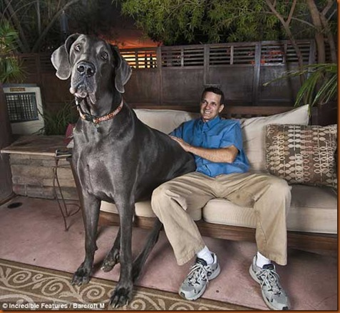 giant-george-great-dane-1