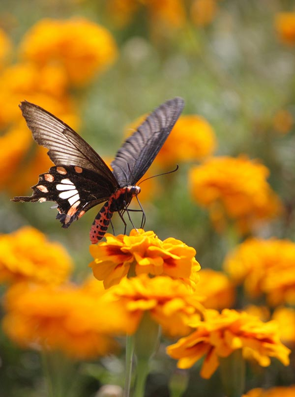 Common Rose Butterfly [Atrophaneura Aristolochiae, Pachliopta Aristolochiae, Swallowtail Butterfly] Feeding on Marigolds