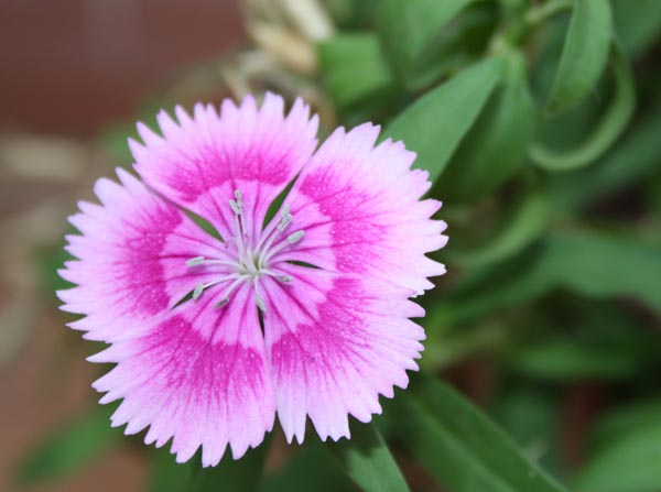 Fully Grown Sweet William Flower in Our Mini Garden