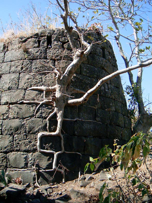 A fig has rooted and has taken a good hold over a bastion of a very old fort. This photograph was taken in the winter of 2006 at Tikona fort in Pune.