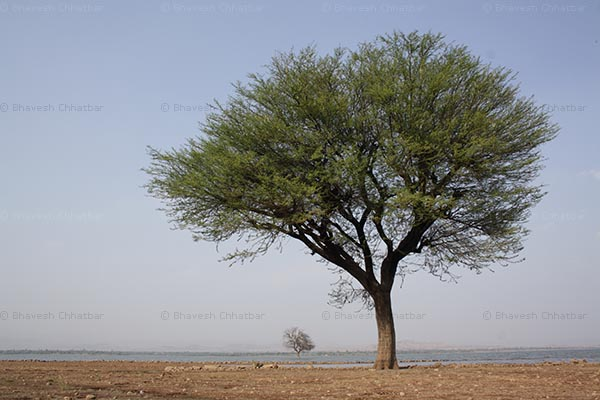 Reason for happiness [Tree at Veer dam backwater]