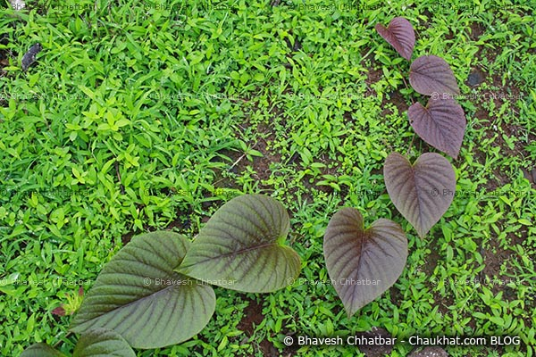 A collection of heart shaped leaves at Tamhini ghat