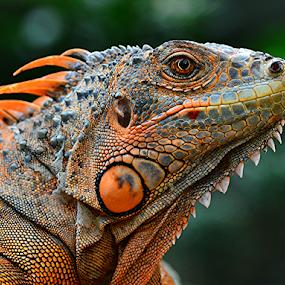 Igun5 by Sigit Purnomo - Animals Reptiles (  )