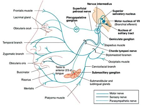Facial Nerve Pathway 108