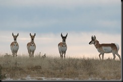 grand-teton-national-park-pronghorn