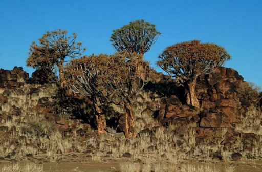 Karas province, southeast of the capital Windhoek, where iconic quiver trees grow. AFP